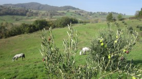 Olive, prati, cavalli al pascolo...