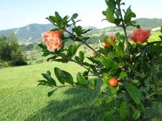 Ammirare i fiori di melograno...