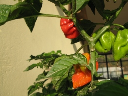 IMG_2186peppers01