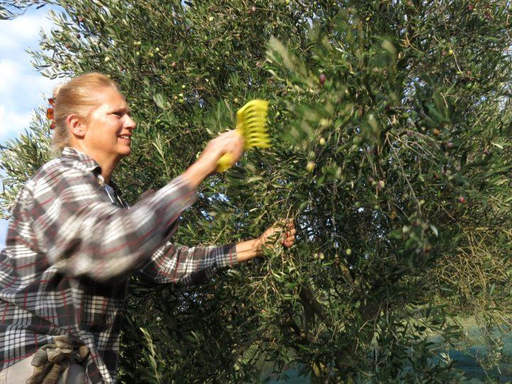 Maggie alle prese con la chioma degli olivi